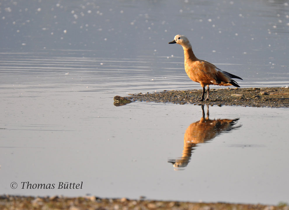 No waders at the Großer Wörth but a Ruddy Shelduck