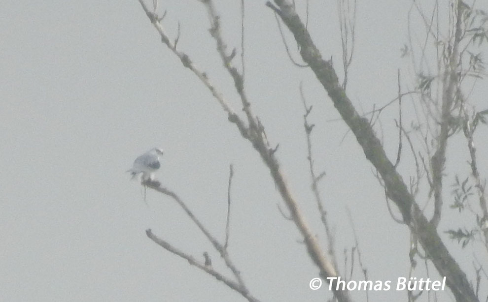 record shot of the Black-winged Kite