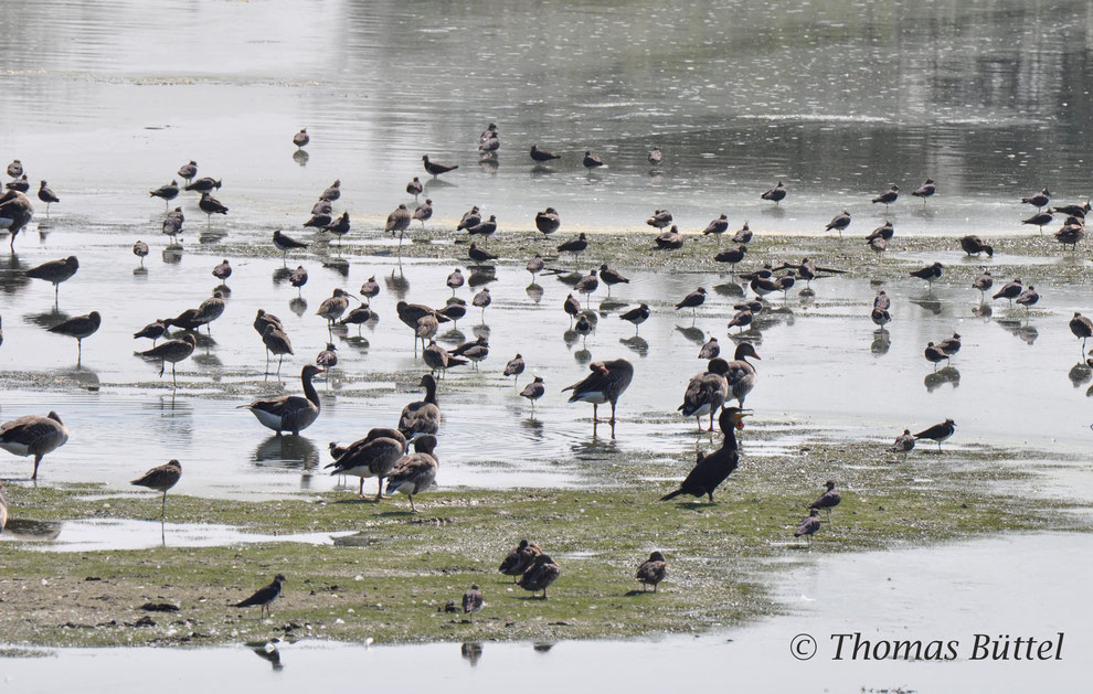 Lots of waders on the Altmühlsee