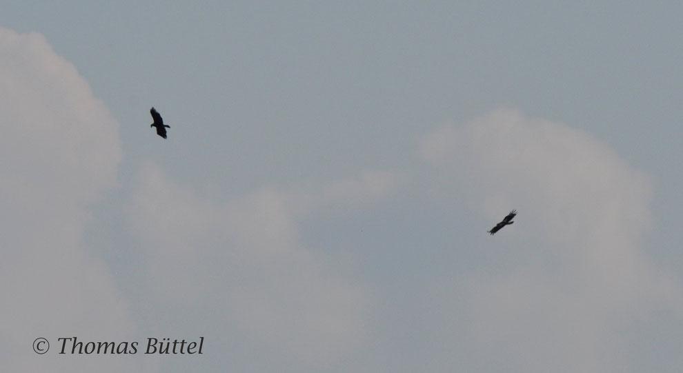 Kaiseradler (Neusiedler See, Österreich) - zwar keine Schelladler, aber dennoch ähnlich selten wie diese in Deutschland