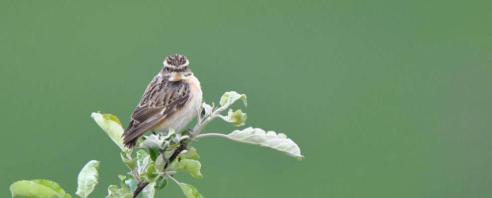 Whinchat is a typical breeder