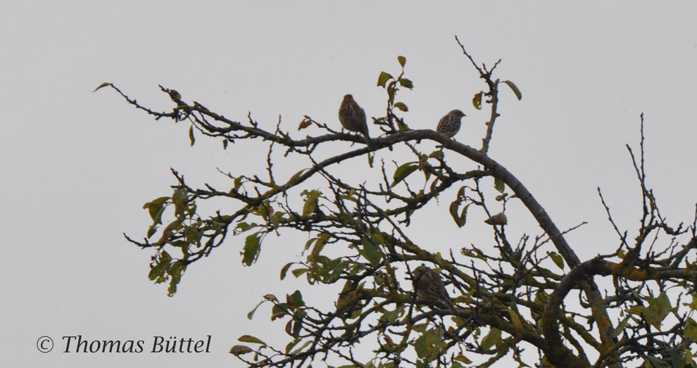 probable Pine Bunting on the right