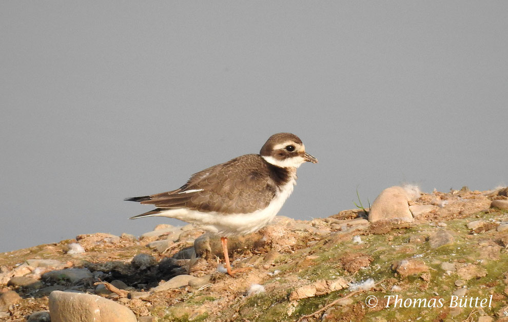 Great Ringed Plover is a regular appearence on the sandbanks of the reservoir during passage season.
