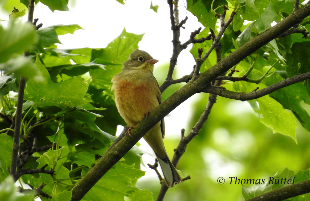Franconia is the only region of South Germany where the Ortolan Bunting yet breeds