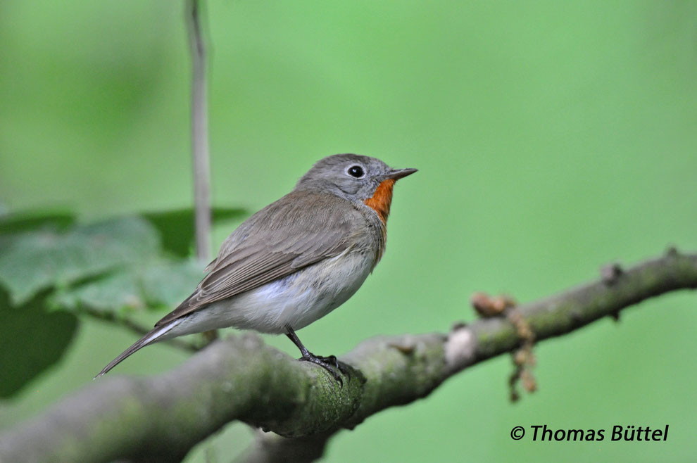 Over the last years there have been records of Red-breasted Flycatchers in breeding season in the Steigerwald