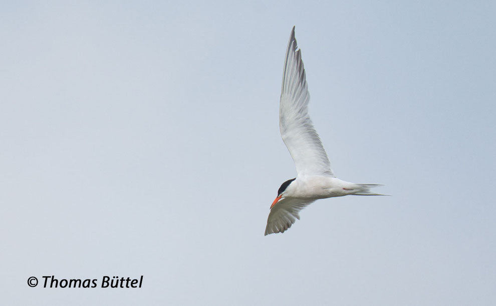 The Common Tern is regularly observed on passage