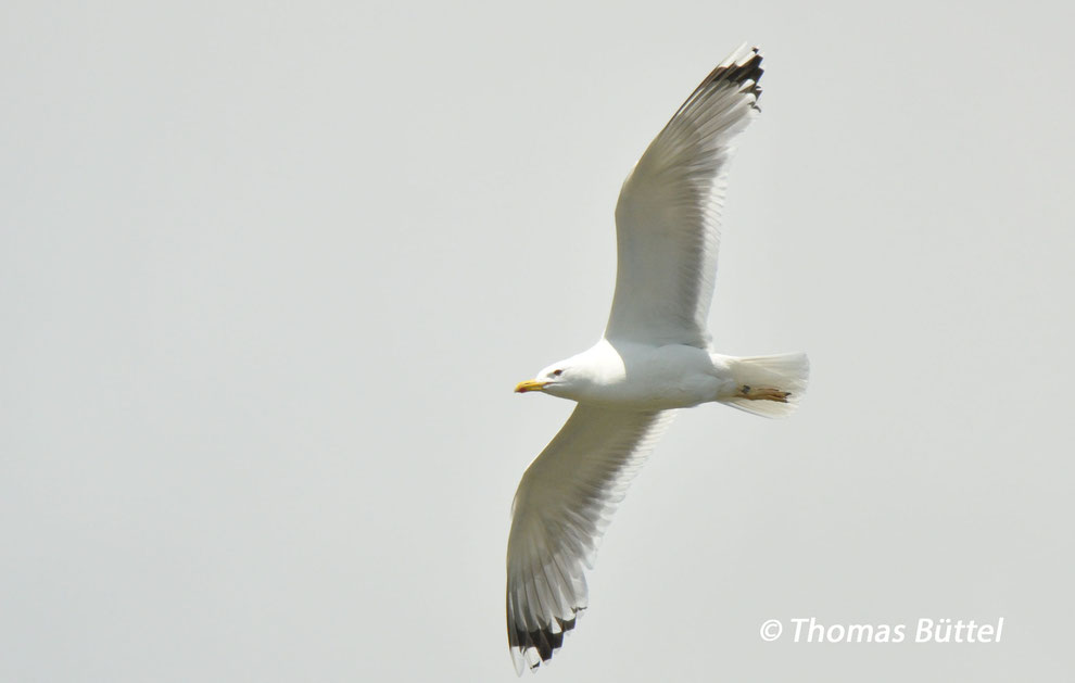 putative Caspian Gull