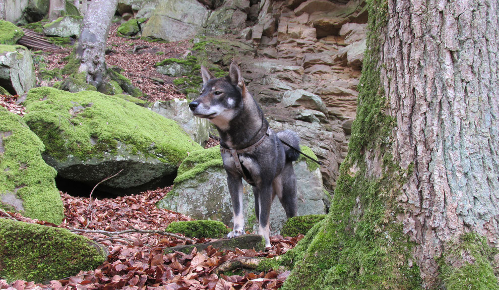 Shikoku 四国犬