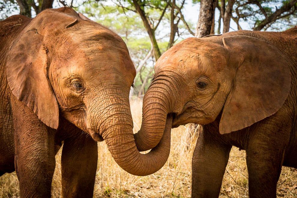 Elefanten Waisenkinder in Sambia deren Eltern von Wilderern ermordet wurden