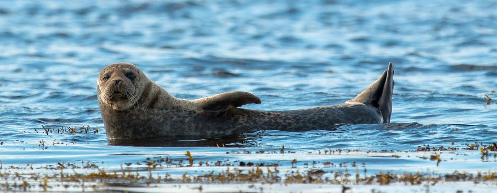blog over selikies, outlander, silkie's island, schotse mythen en grijze zeehonden