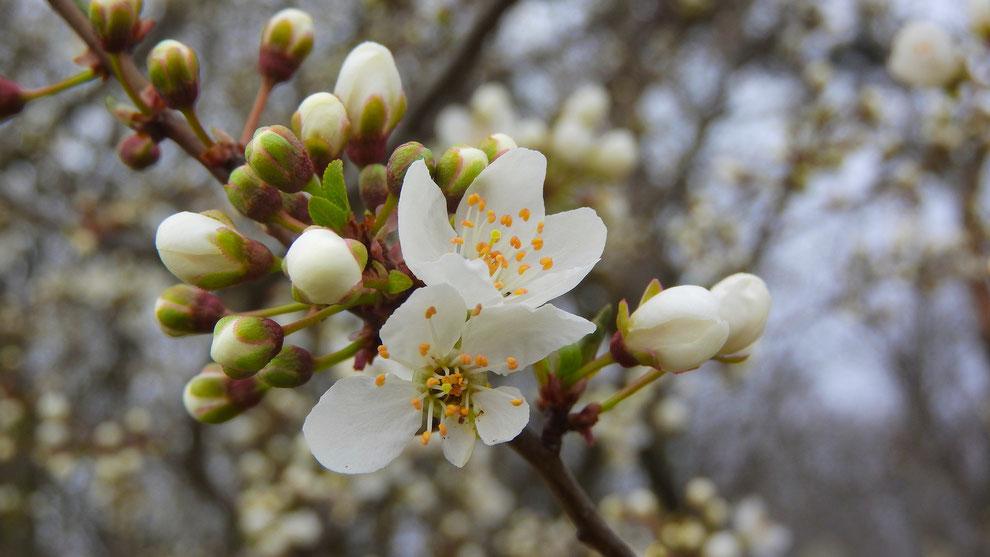 blog over de feiten en fabels over meidoorn en de kruiden die claire fraser in outlander gebruikt als medicijn