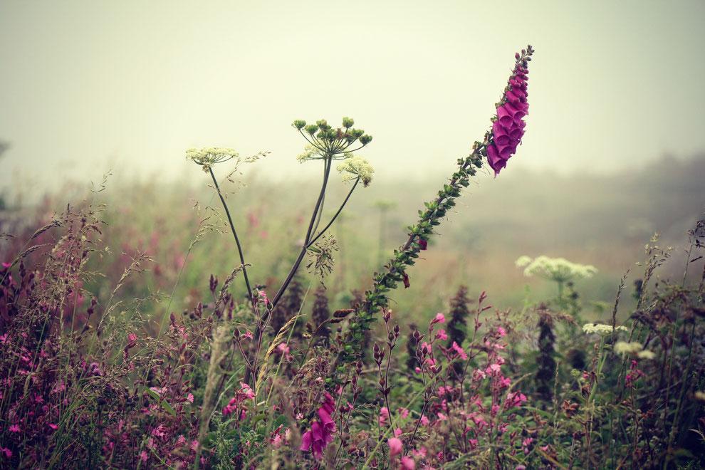 blog over de feiten en fabels over vingerhoedskruid en de kruiden die claire fraser in outlander gebruikt als medicijn