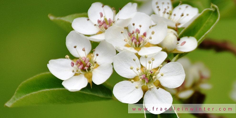 Birnenblüte | Pear blossom