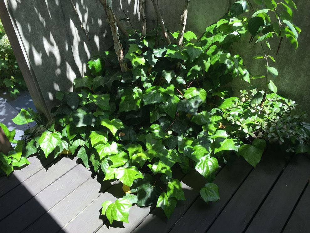 シンボルツリー 白樺の根元 グランドカバーのヘデラ