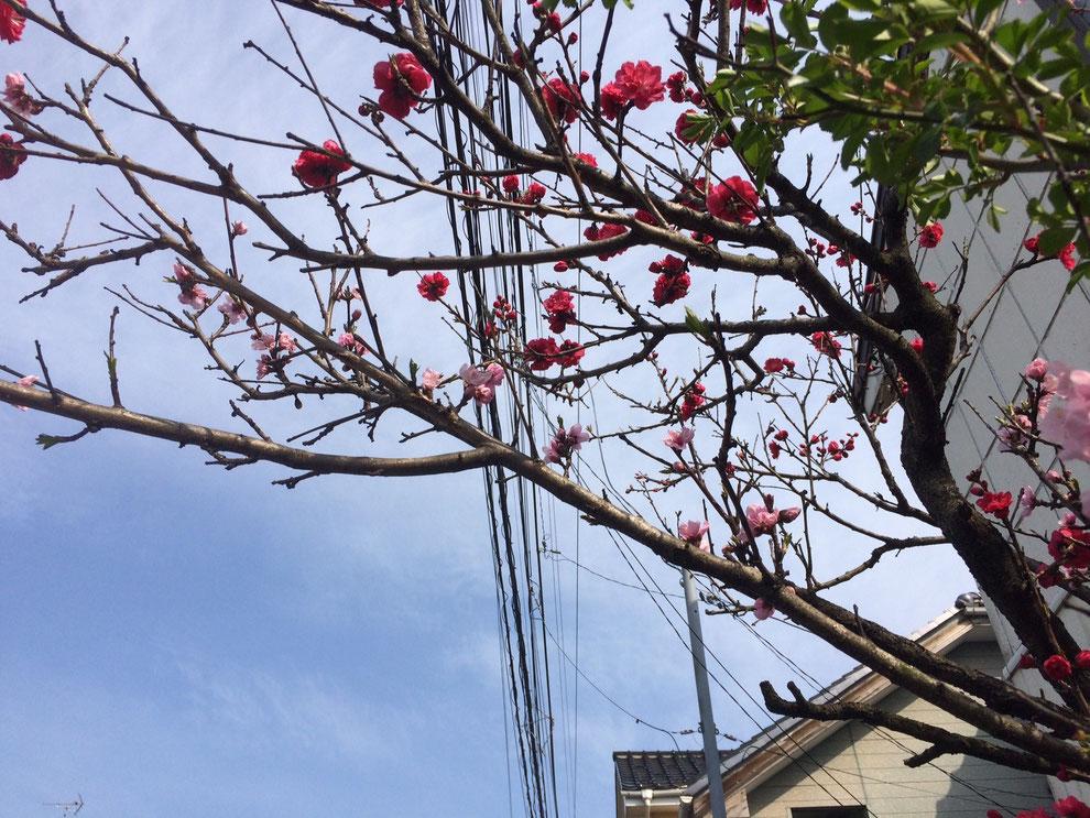 赤とピンク、2種類の花が咲く不思議な木