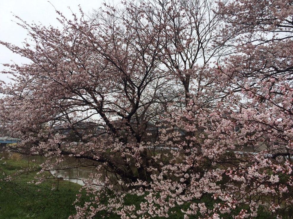事務所前の桜 本日の様子 6~7分咲き
