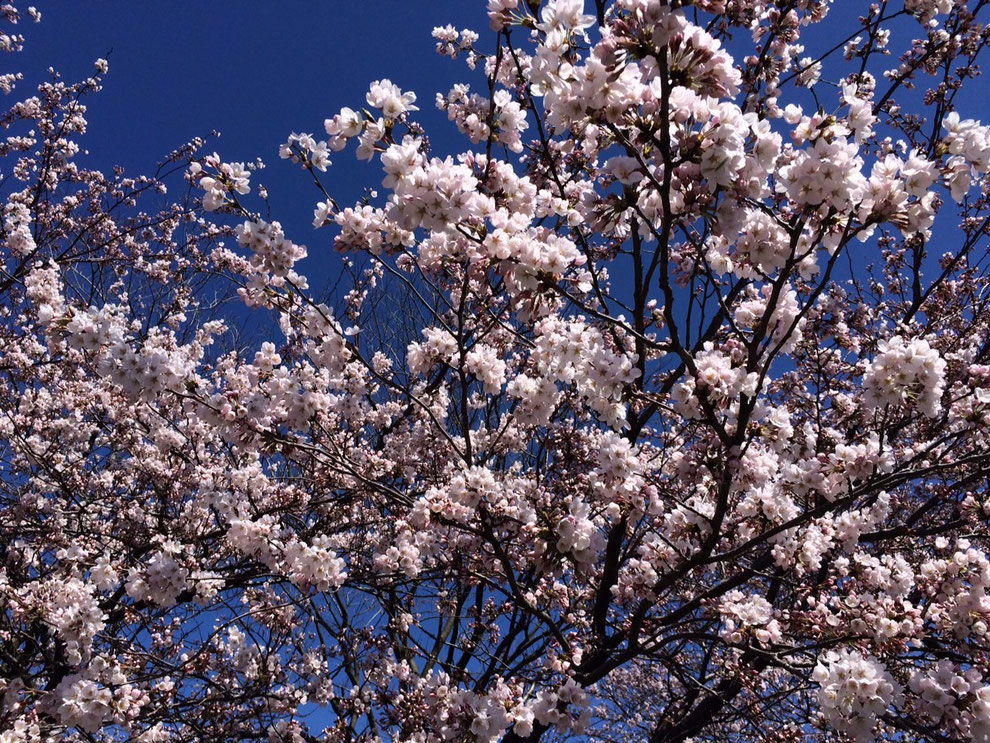 桜色と青空のコントラストが美しい事務所前の桜