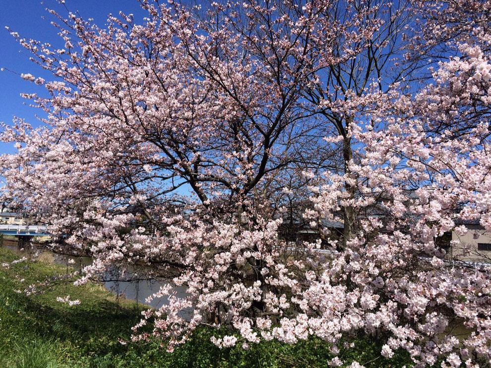 Craft事務所前の桜 8分咲き‼