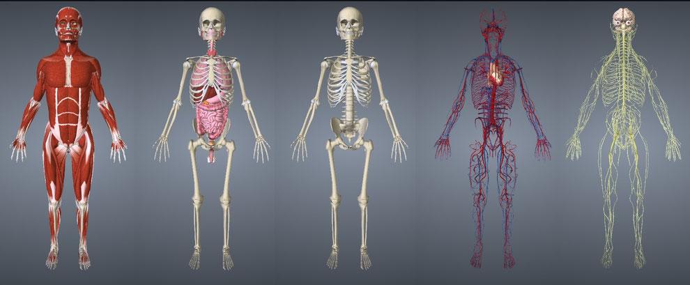 Les différents systèmes : musculaire, viscéral, osseux, vasculaire, nerveux.