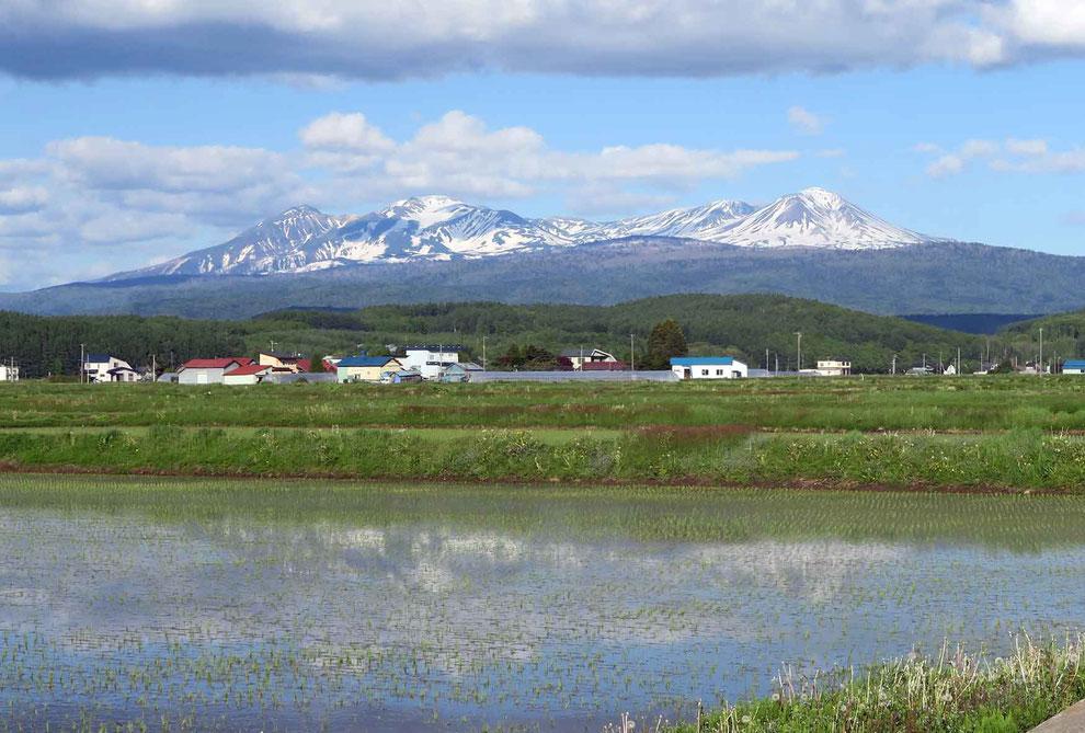 早苗に映る大雪山