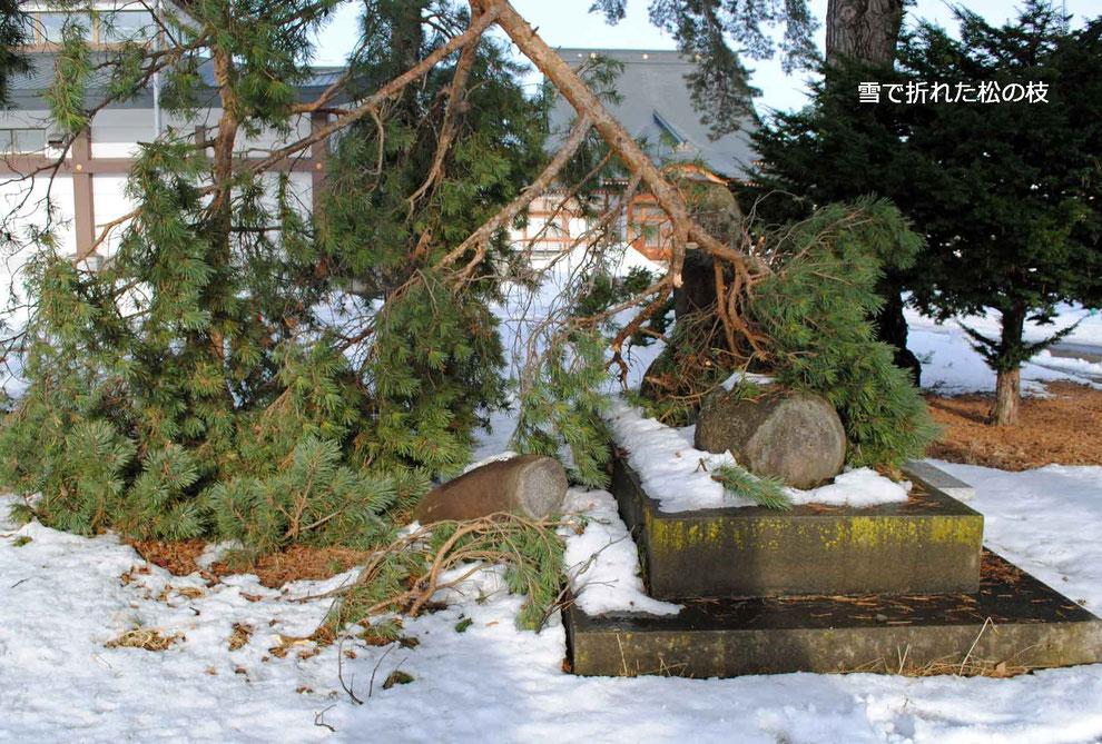 雪で折れた松の枝
