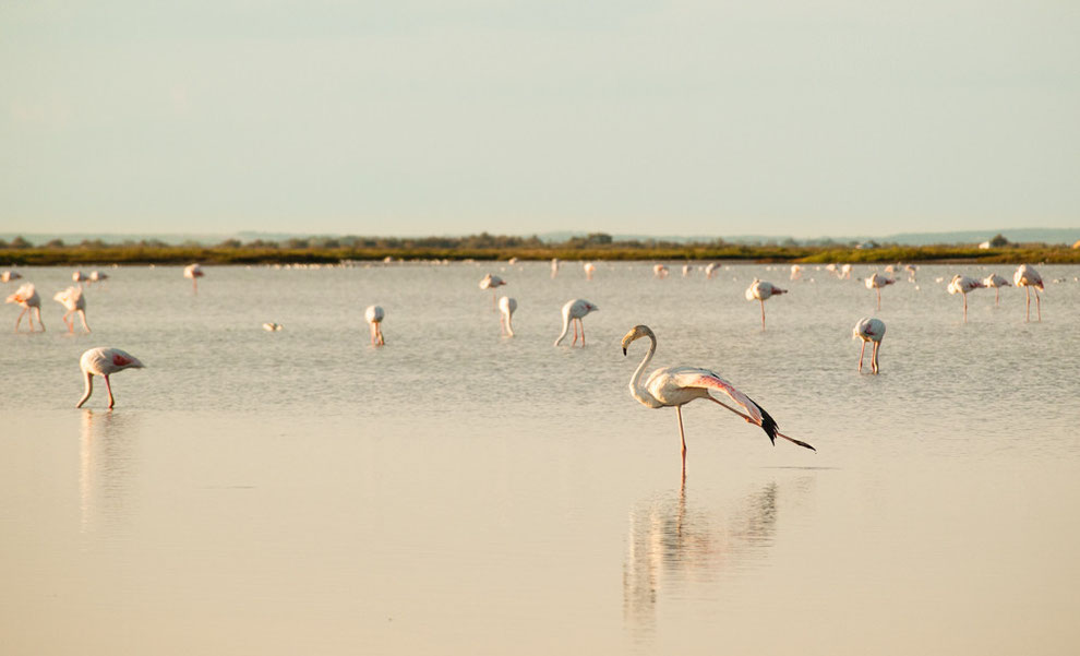 Flamingo - Camargue - Entspannungsübung im Sumpf