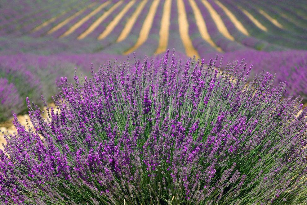 Naturseife Inhaltsstoffe -Grosses Feld mit langen Reihen von Lavendelpflanzen
