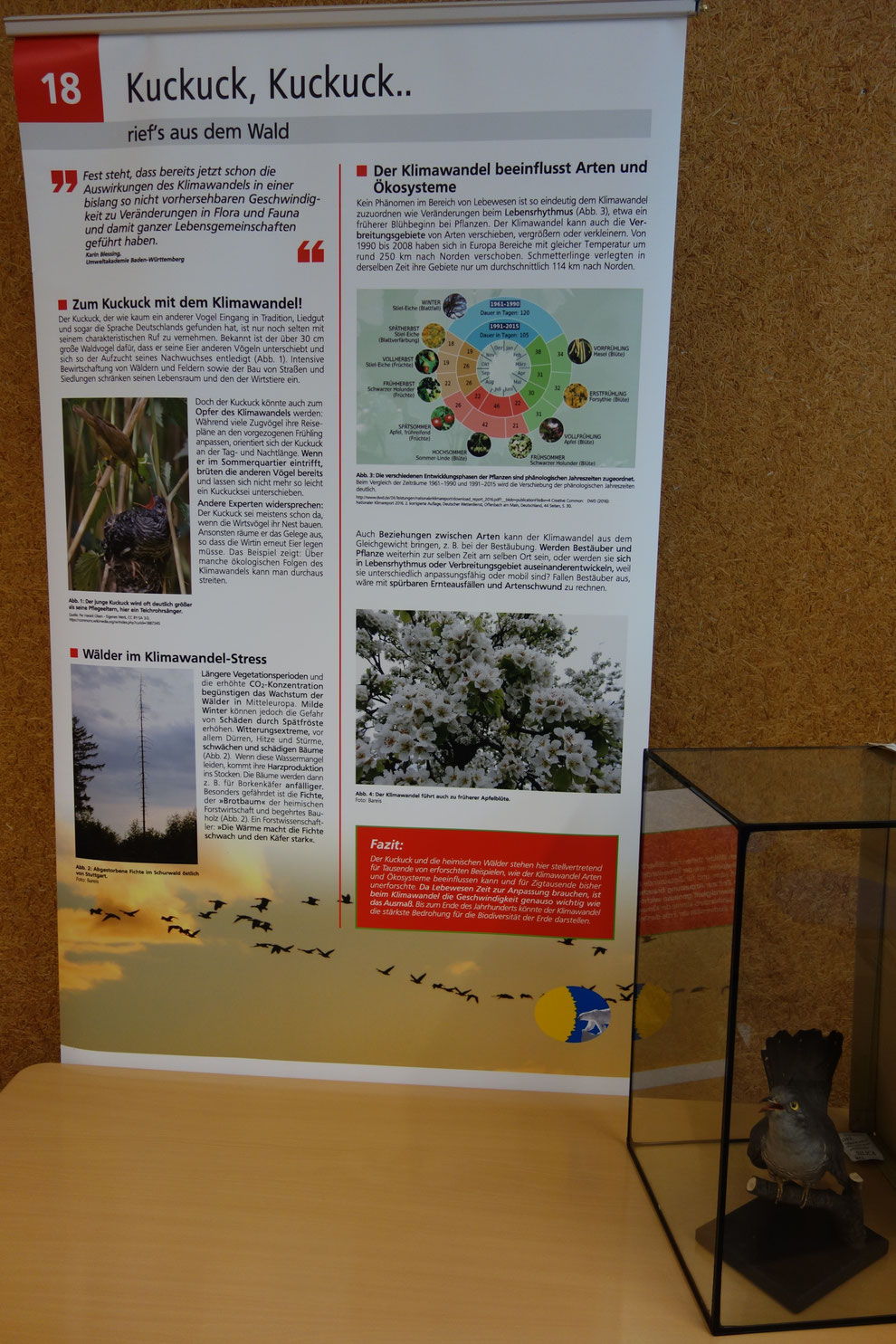 Gehört der Kuckuck zu den Verlieren des Klimawandels? Leihgabe des Naturkundemuseums Stttgart. Alternativ zeigen wir eine Kuckucksuhr.
