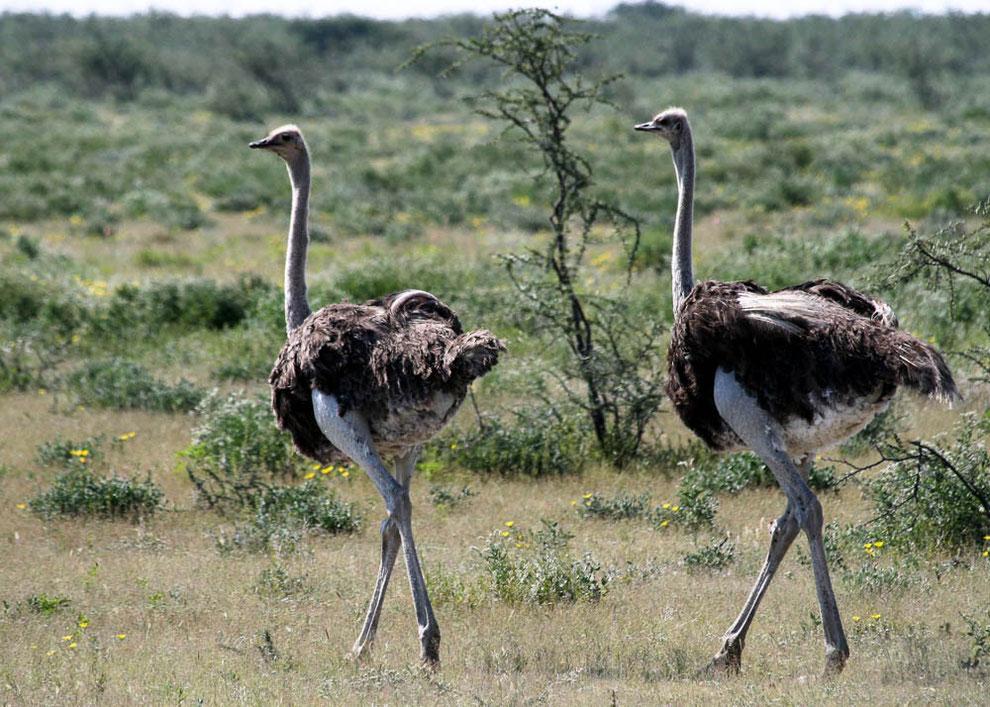 Der größte Vogel der Welt: Der Strauß
