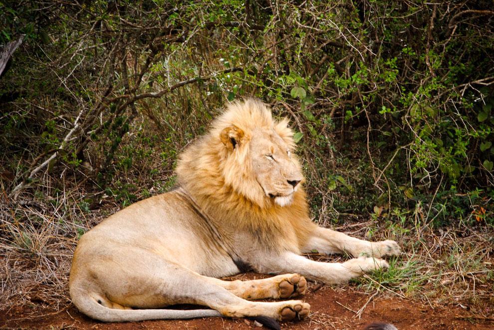 Lion, I.