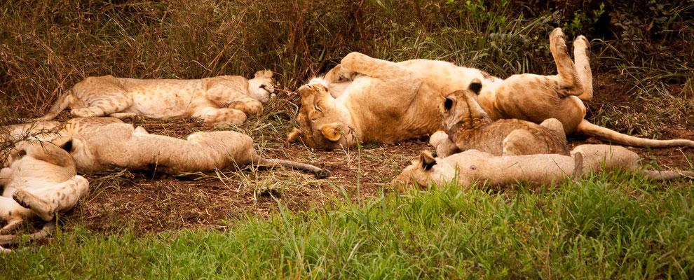 Ruhen und schlafen - das macht der Löwe wohl über 20 Stunden am Tag.