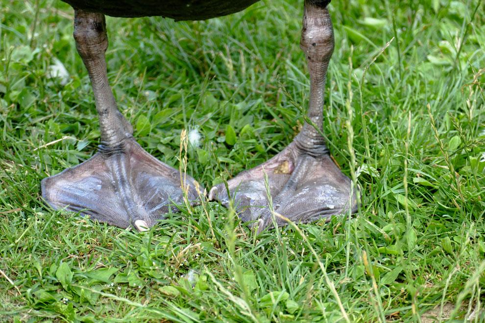 Anthrazitfarbene Füße des Trauerschwans. Unterwegs