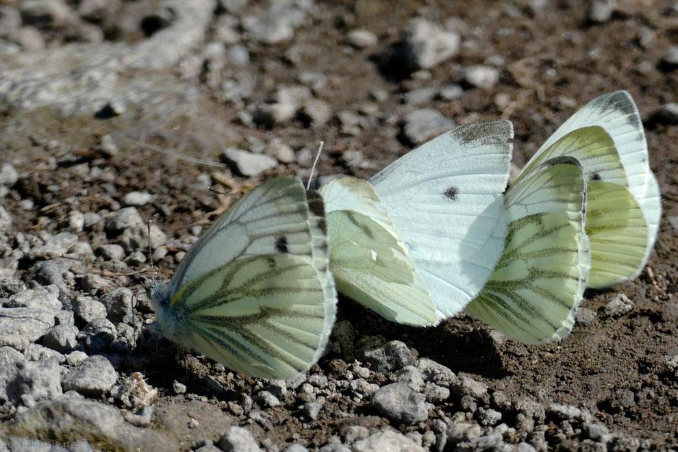 Für diese Schmetterlinge gelten keine Abstandsregeln