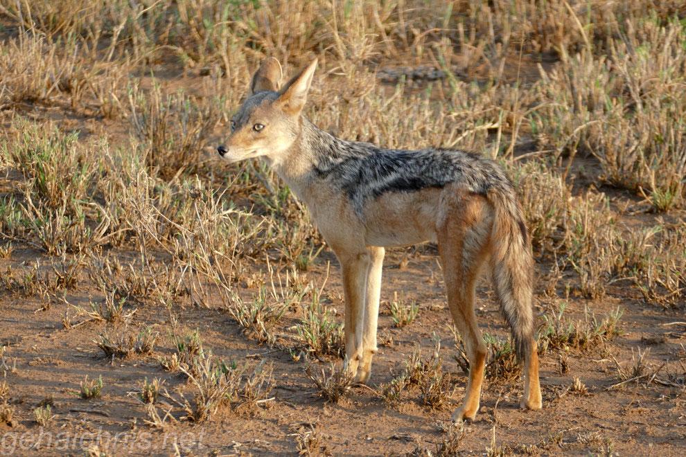 Die kleinen Wildhunde, Schakale, haben ein ausgesprochen breites Beutespektrum von Gazellen über Mäuse bis hin zu Insekten.