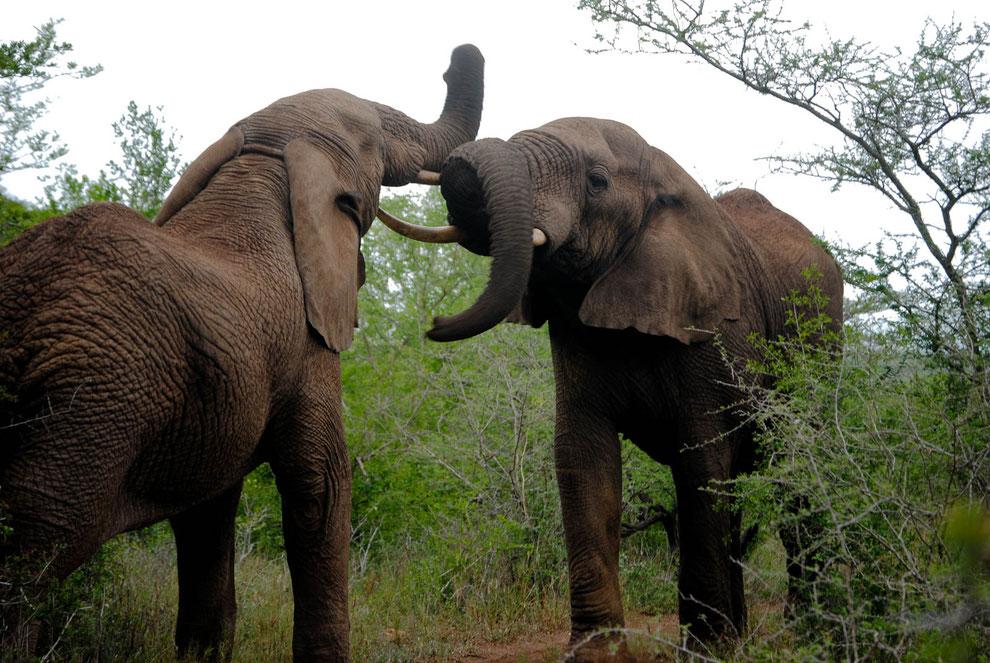 Erster Drive, erste Elefantenherde, erste challenge. Keine fünf Meter von mir weg. Als sich von vorne und von hinten die Elefanten näherten, fragte ich mich, ob Simon, unser driver, einen Plan B hat.