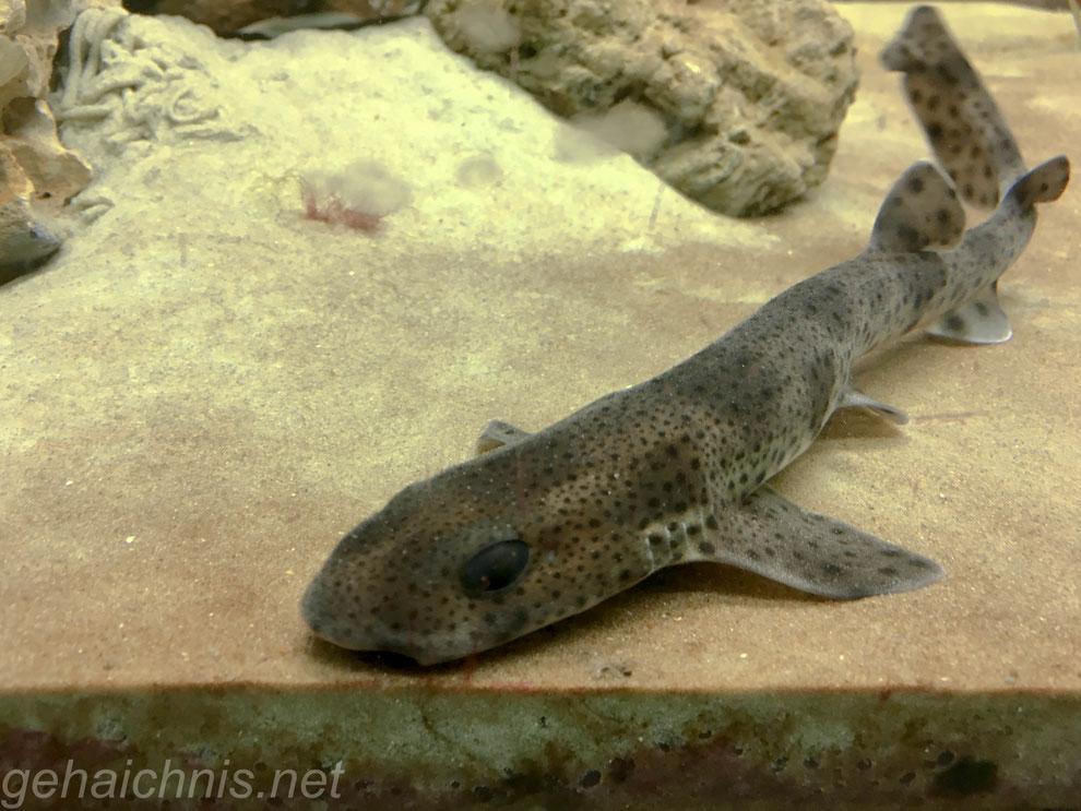 Katzenhaie sind bei uns wegen Überfischung selten geworden