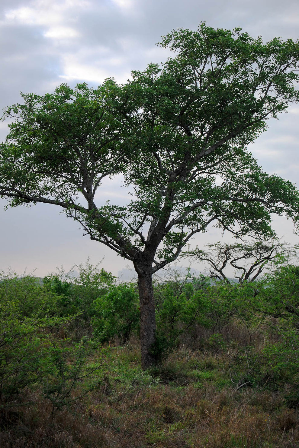 Aus den Früchten des Marula-Baumes wird der leckere Amarula gewonnen