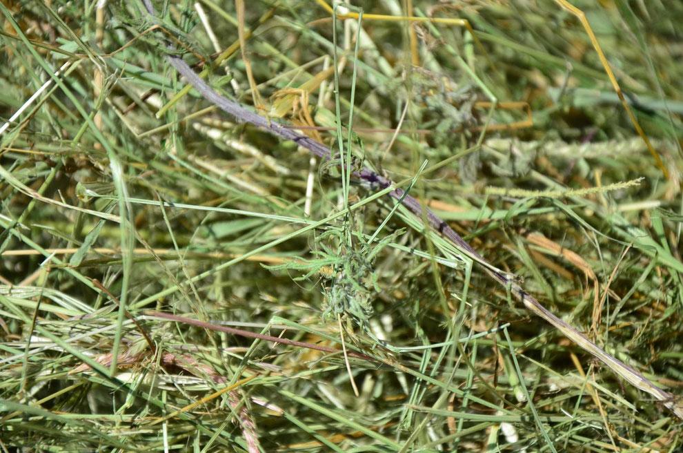 Raukenblättriges Kreuzkraut in getrocknetem Gras - Foto: © Stephanie Uhlherr