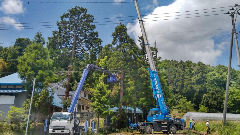 写真:大きな木の伐採風景