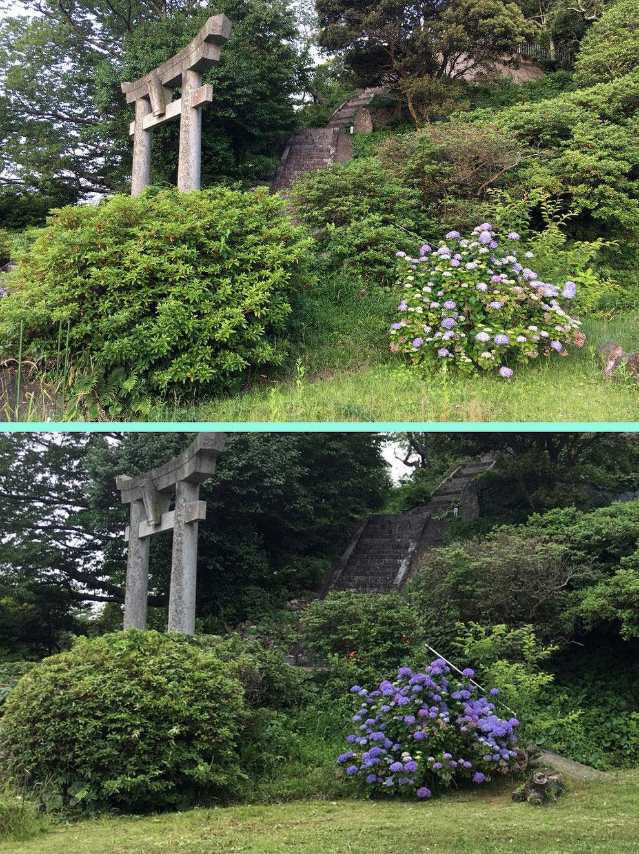 鎮懐石八幡宮の紫陽花