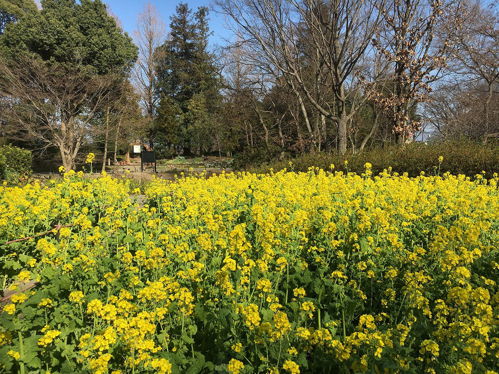 福岡市植物園 菜の花