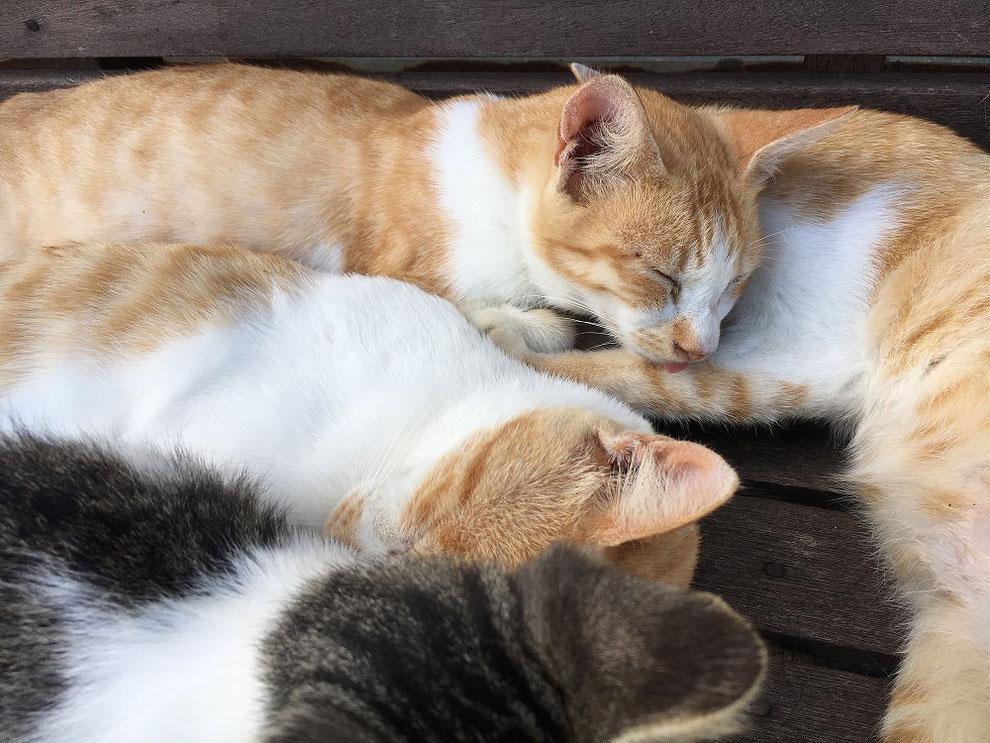 池島の昼寝中の猫