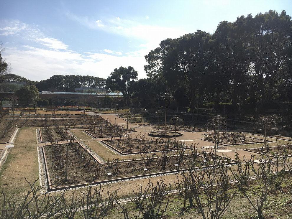 福岡市植物園 冬のバラ園