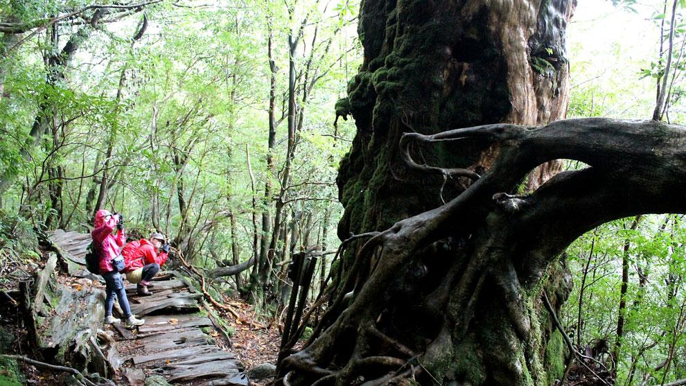 屋久杉・奉行杉が存在するこのコースなら、樹齢1,000年を超える杉が見られる
