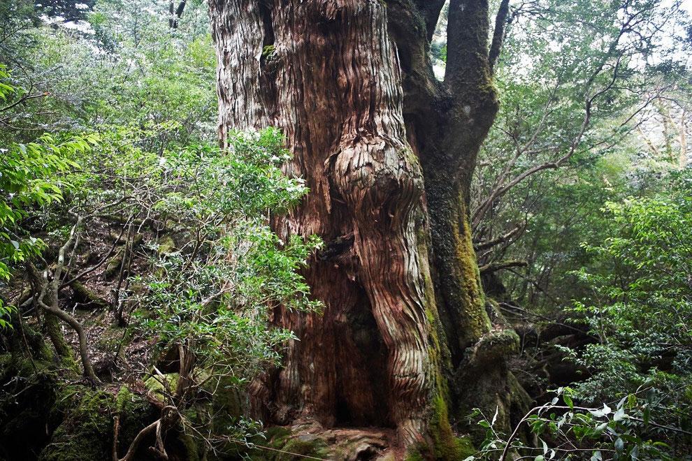静寂の森に佇む、大和杉(大和杉ガイドツアーにて)
