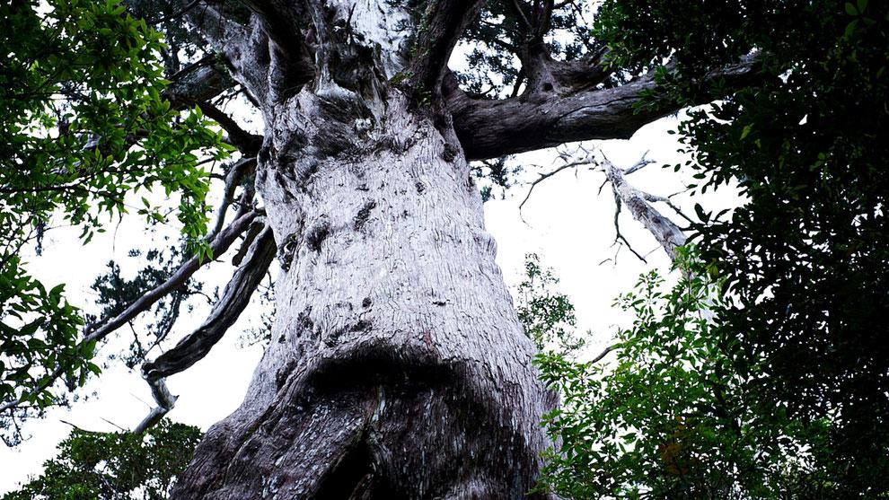 樹齢3,000年とも言われる、万代杉(モッチョム岳ガイドツアー)
