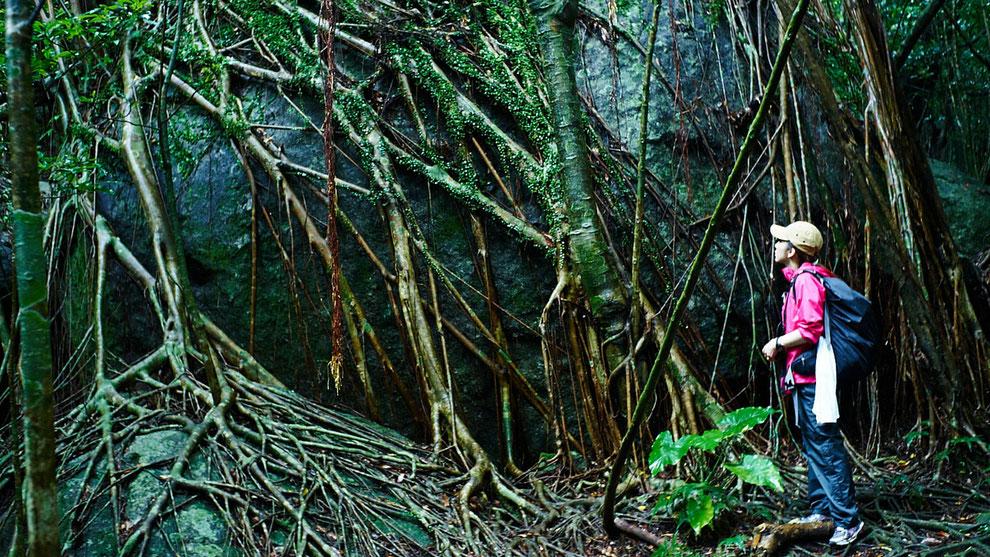 岩に巻きつくように伸びる木々の根。西部林道ガイドツアーにて。