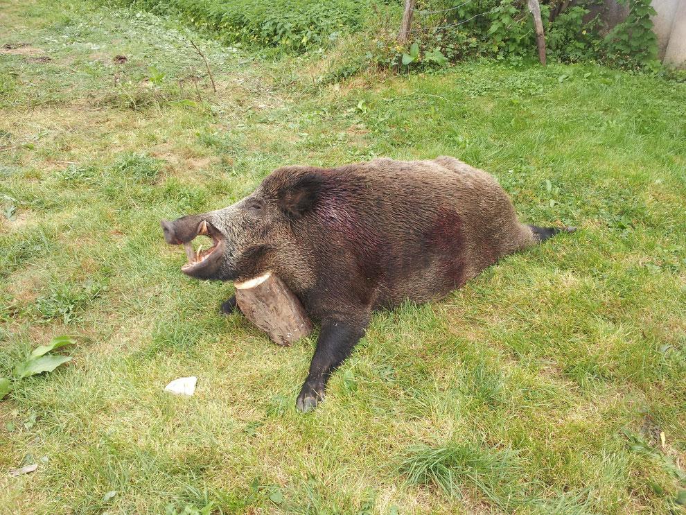 Sanglier de 130 kg abattu le 07/09/2013