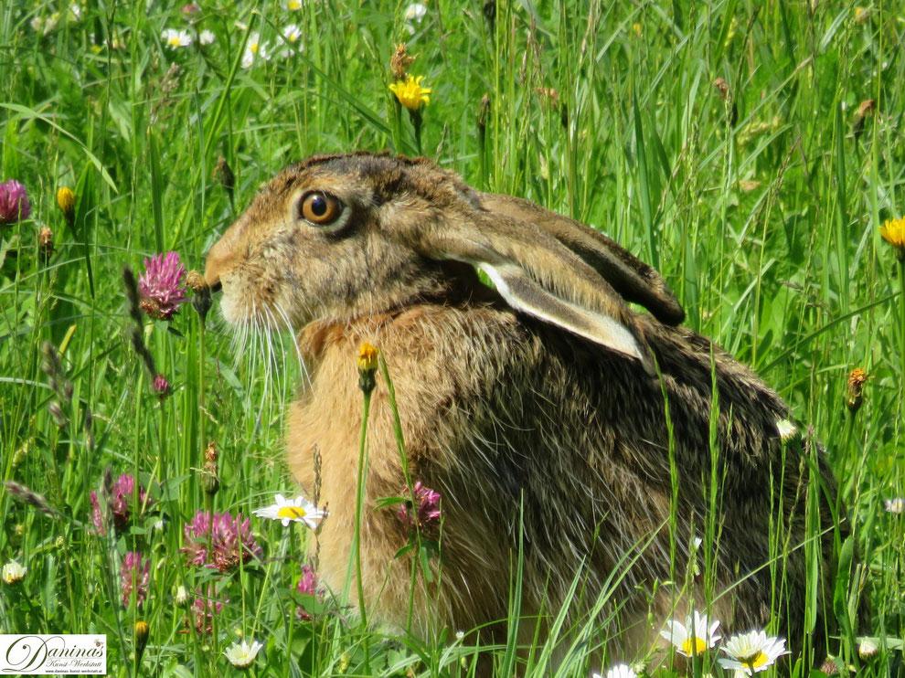 Echter Hase in Blumenwiese