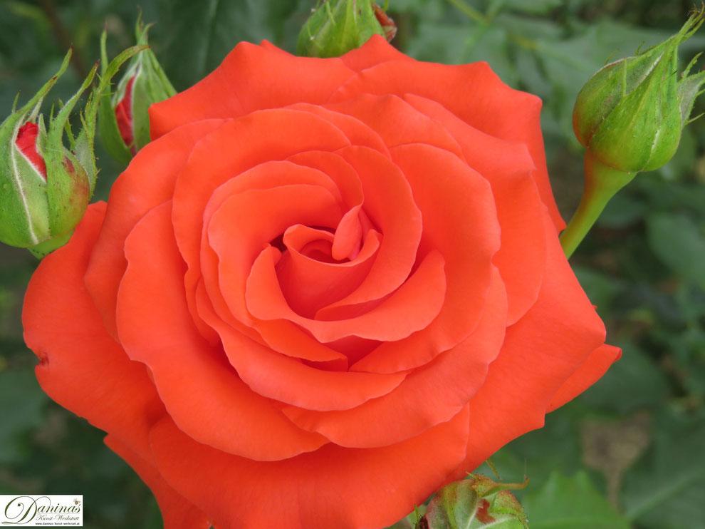 Orange Rose im Rosengarten - die Königin der Blumen